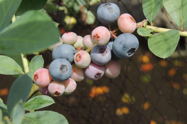 藍莓在台灣種得起來嗎?台大園藝系:絕對有未來 但要找出適種品種