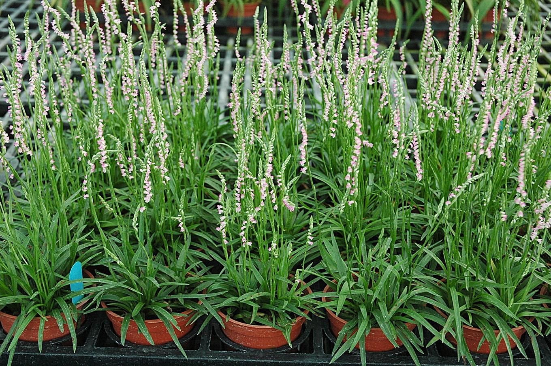 綬草組織培養繁殖體系操作過程依次為:1.無菌播種。2.芽體增殖。3.芽體抽長,發根展葉成組培苗。4.及5.瓶苗出瓶種植栽培生育情形。(四)