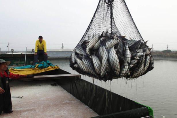 羅秀婉、李武忠/ 在漁業署宣布雌激素禁令之後─期待烏魚產業之永續經營
