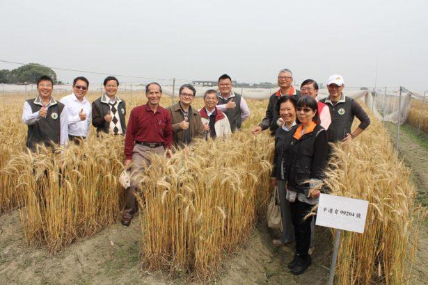新本土小麥品種誕生 台中35號 低筋豐產