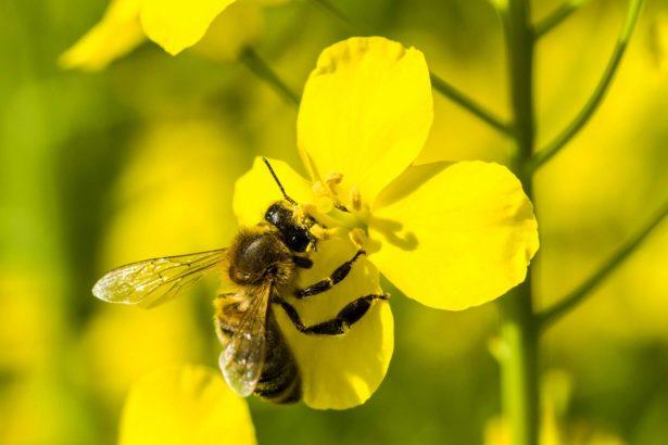 歐盟最新草案 類尼古丁農藥嚴重危害蜜蜂 預計全面禁用