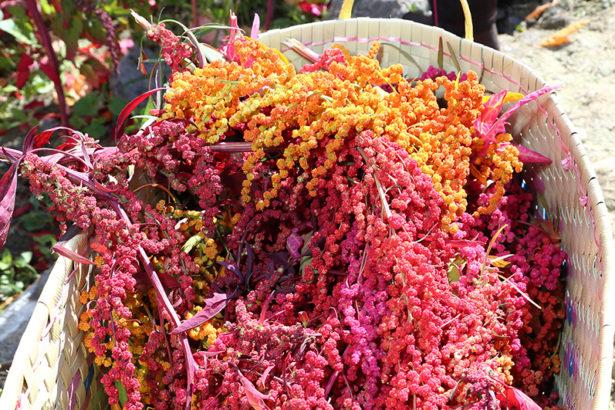 【公民寫手】紅藜美麗的18種色彩,原來產量大不同! 紅藜專家首度公開「紅藜品種的秘密」