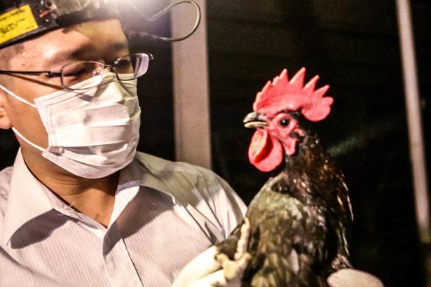 【公民寫手】有關禽流感的防制措施,執業獸醫師的一點想法,政府真的要加油!