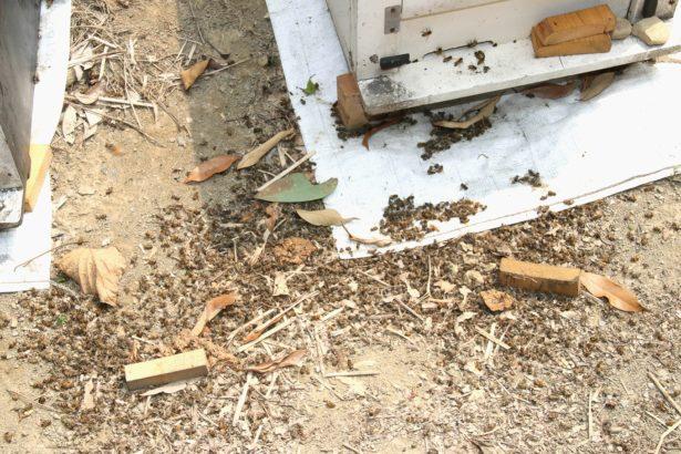 蜜蜂農藥中毒日趨嚴重  農委會多頭馬車 無專責機構