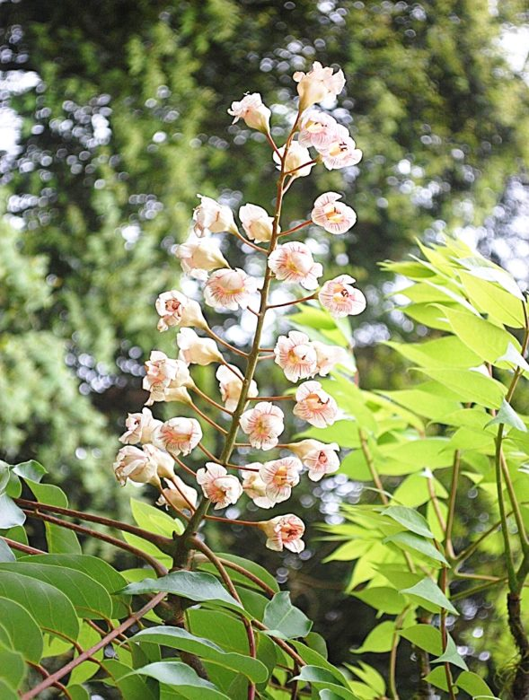 圖2、福山植物園栽植的稀有植物 - 鐘萼木
