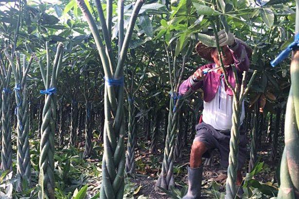 土壤失衡 久病纏身 發財樹馬拉巴栗從七億走向七千萬的凋零之路