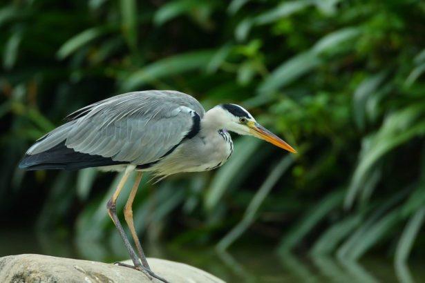 全國鳥鄉民觀測記錄 四大冬季候鳥數量下降 小辮鴴只數到3千隻