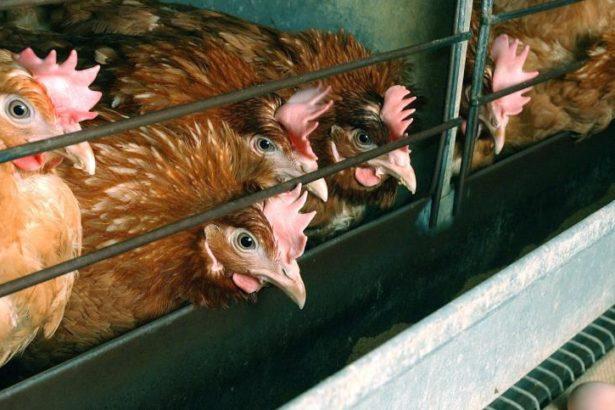 歐盟攔不住的戴奧辛 比利時飼料戴奧辛污染、德國機油餵雞 飼料食安漏洞