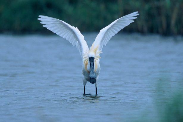 黑面琵鷺與虱目魚共生 水試所海水中心推淺坪式魚塭