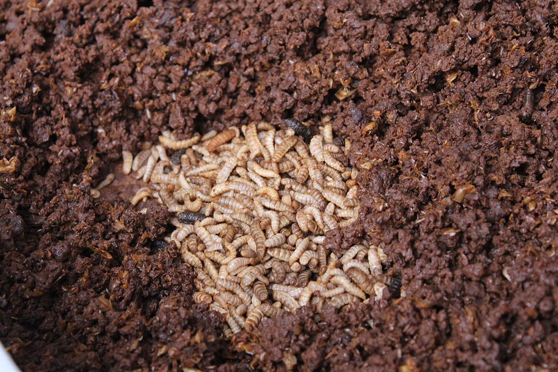 在陳世雄眼中,黑水虻是很棒的飼料蛋白質(攝影_賴郁薇)