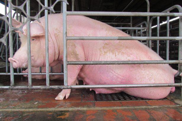 母豬悲慘的一生!歐盟早已禁止狹欄,台灣何時跟上腳步?