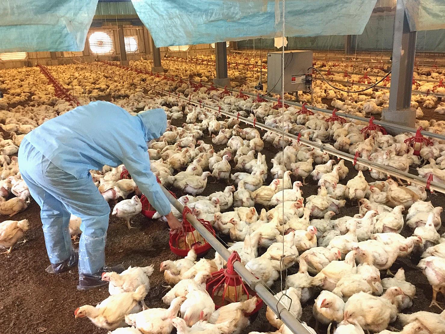 飼養密度一坪只有35隻,讓雞隻有較為舒適的生長環境(攝影_孔德廉)