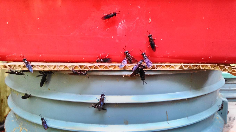 黑水虻成蟲(畜產試驗所提供)