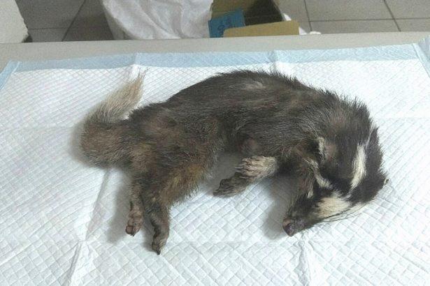 臺南白河狂犬病鼬獾咬傷民眾 防檢局呼籲警覺、寵物施打狂犬病疫苗
