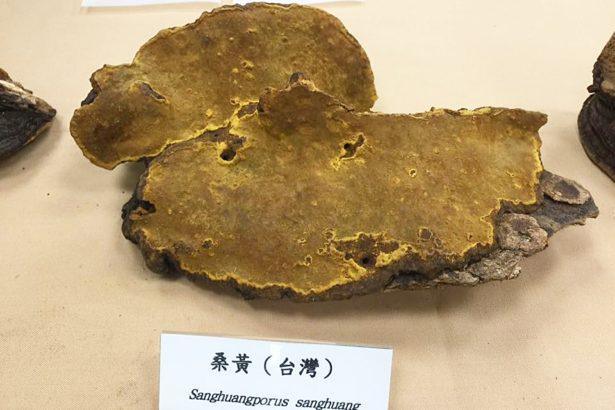 科博館研究:桑黃「森林黃金」效果可比牛樟芝,別再盜伐國寶牛樟樹
