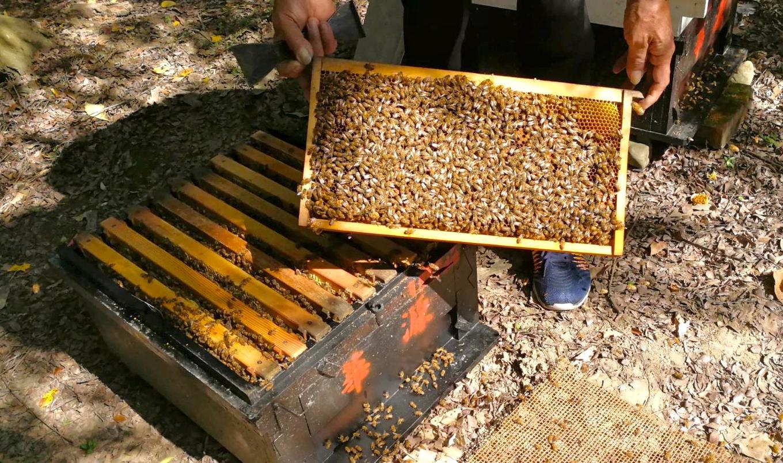 4今年一開蜂箱,巢片瘦薄,收成遠不如往年(吳菊芳提供)