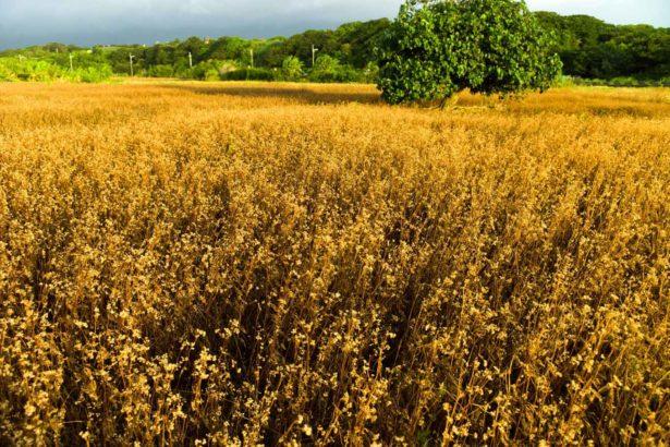 台灣除草劑銷售量創歷史新高!年銷26億元,單位面積用量全球名列前茅