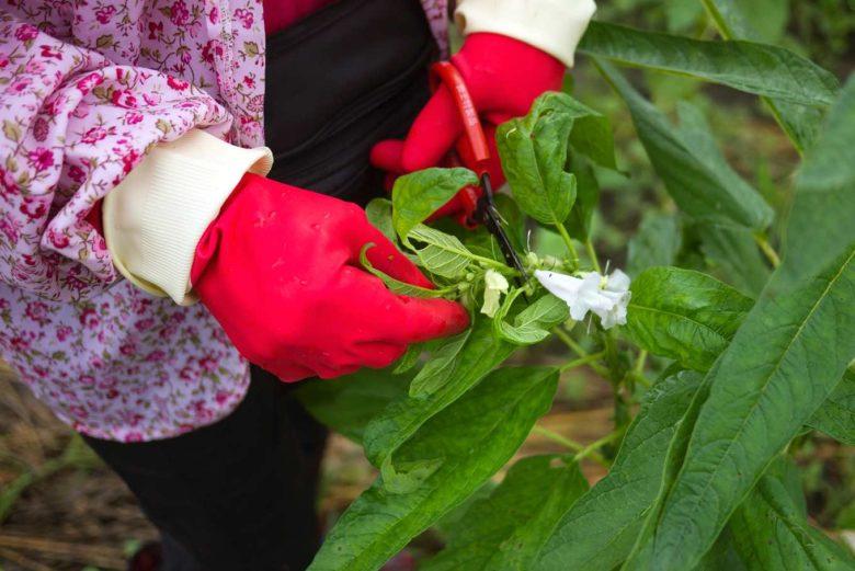 剪掉頂端不成熟的花,這個動作稱做「摘心」(攝影/羅健宏)