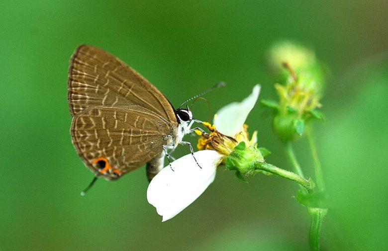 烏石坑地區也是多種蝴蝶的樂園(圖為雅波灰蝶)。(林家弘_攝)