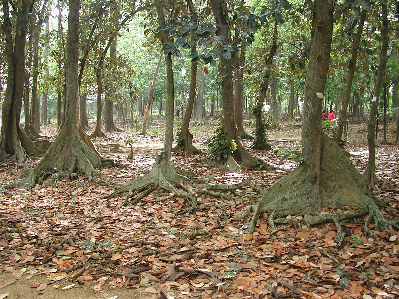 典型熱帶雨林樹木,樹幹基部常發育出板根(銀葉樹)