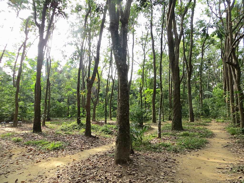 早期引種的巴西橡膠樹試驗區