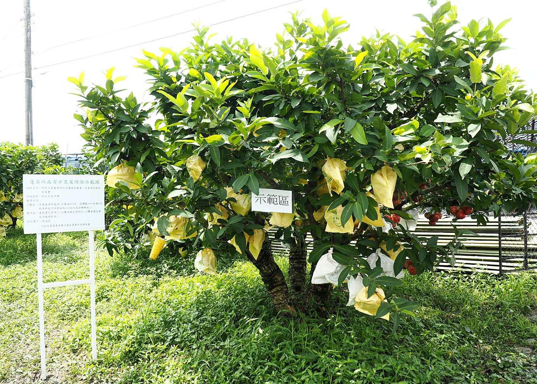 圖5、農友下田觀摩後表示示範區果樹生長狀況良好,防病效果佳