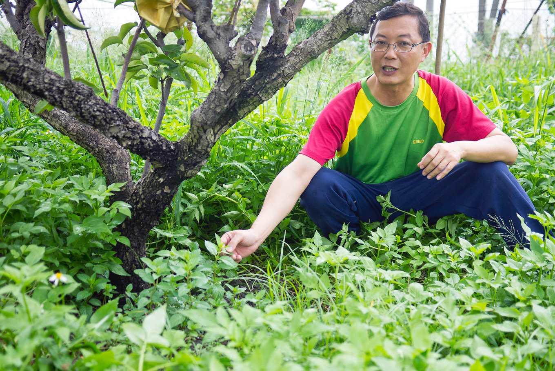 為了防止介殼蟲,果樹下剛栽種水薄荷,希望植物的氣味可以驅趕昆蟲,改變蟲相(攝影/羅健宏)