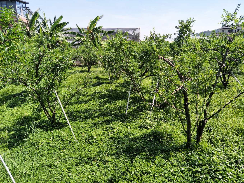 紅棗園草生栽培情形