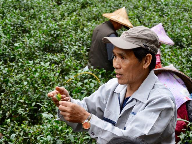 今年不論採茶工或是製茶師傅都非常搶手,間接影響製茶流程。攝影/湯立成