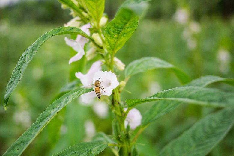 開花期間,附近的義大利蜂和土蜂都會前來採蜜,早晨的數量最多(攝影/羅健宏)