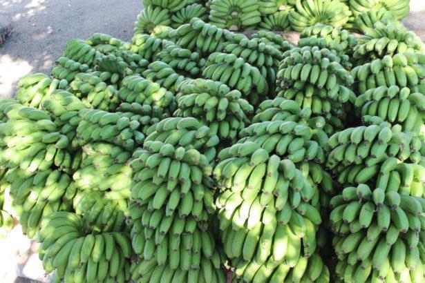 綠香蕉適合拿來做抗性澱粉,本圖為示意非當事香蕉(攝影/蔡佳珊)