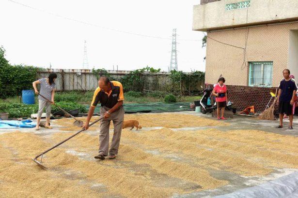 阿孝的田/一分地收成多少稻子才划算?產值、產量這筆帳怎麼算