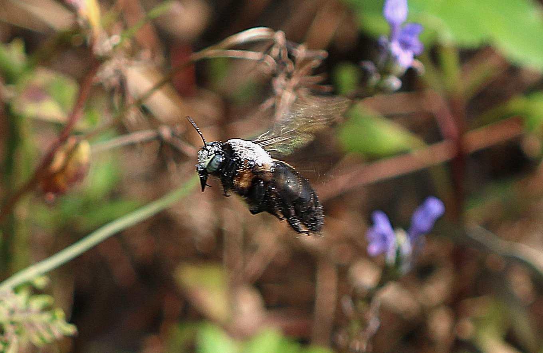 回巢的木蜂(圖片提供/「城市養蜂是bee要的」團隊)