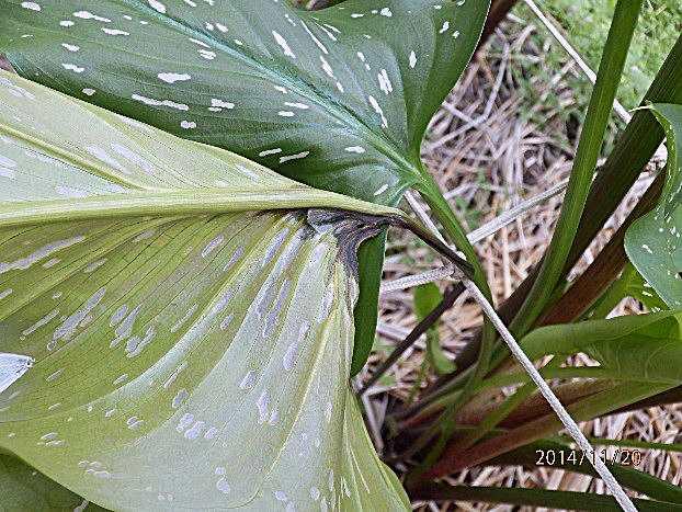 海芋軟腐葉片及葉柄組織褐化腐爛病徵。
