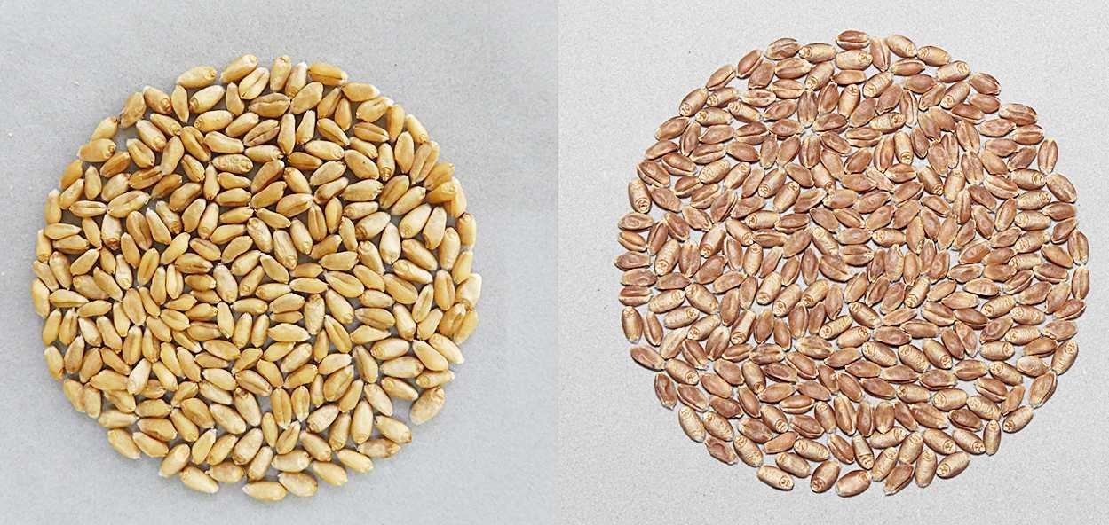 左:台中35號(低筋白麥),右:台中選2號(中高筋硬紅春麥)(圖片來源/農委會)
