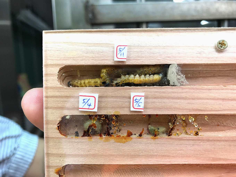 指南國小肉食性獨居蜂寶寶與他們的食物(毛毛蟲)