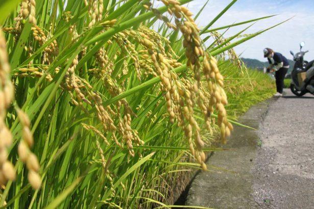 稻米保險新革命 採「收穫區域型理賠」每公頃保費免千元 低於保證收穫量就理賠