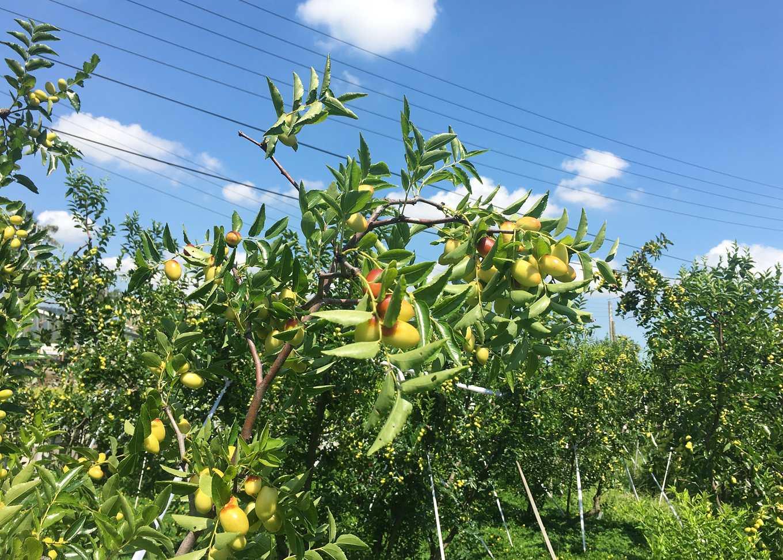 紅棗樹與結實纍纍的果實(圖片提供/農糧署)