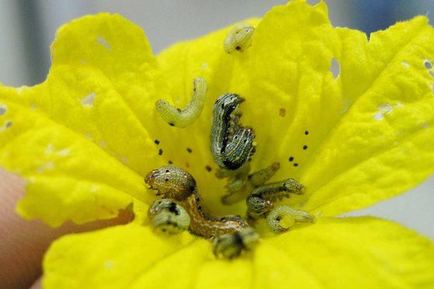 群聚於花朵危害的斜紋夜盜幼蟲