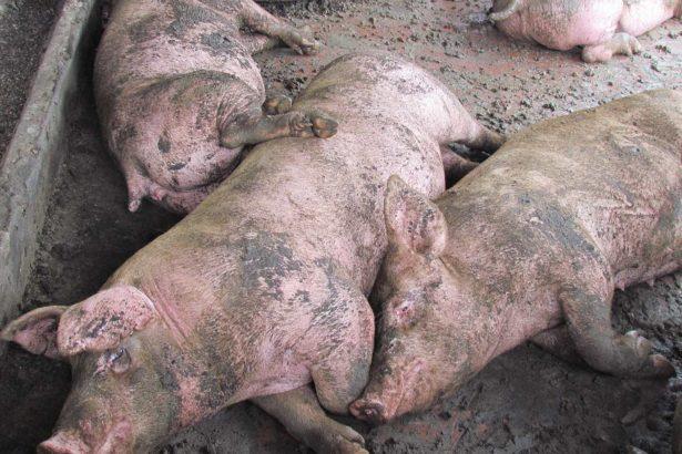 豬隻於缺水後會可能會出現嚴重的「鹽中毒」症狀,例如精神不佳、反應遲鈍、站立發呆或坐姿像狗,因疼痛而將頭靠牆,並出現抽搐而後變成每五分鐘一次癲癇,豬隻可能漫無目的行走,且經常摔倒(圖片提供/動社)