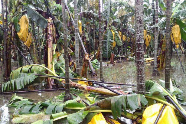 掛果香蕉樹倒伏嚴重(葉姓蕉農提供)