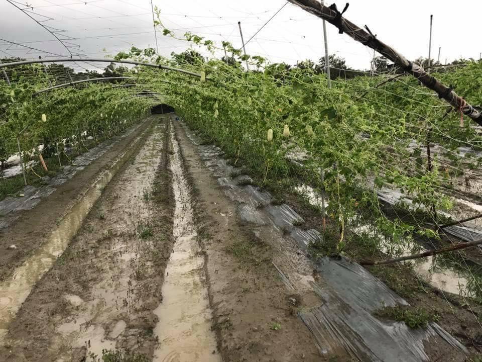 颱風受損苦瓜園(黃盛增農友提供)
