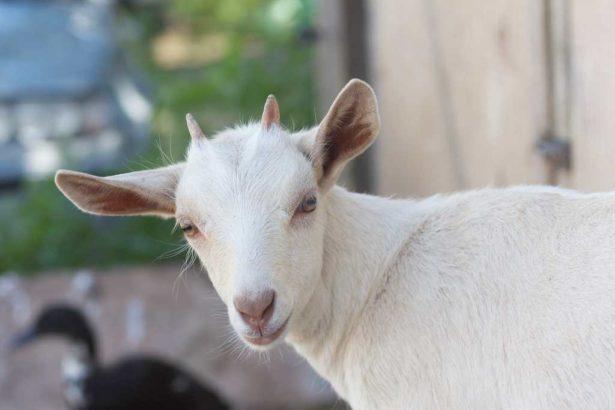 畜試所研究 小羊吃菇頭 豐富多醣增強免疫力