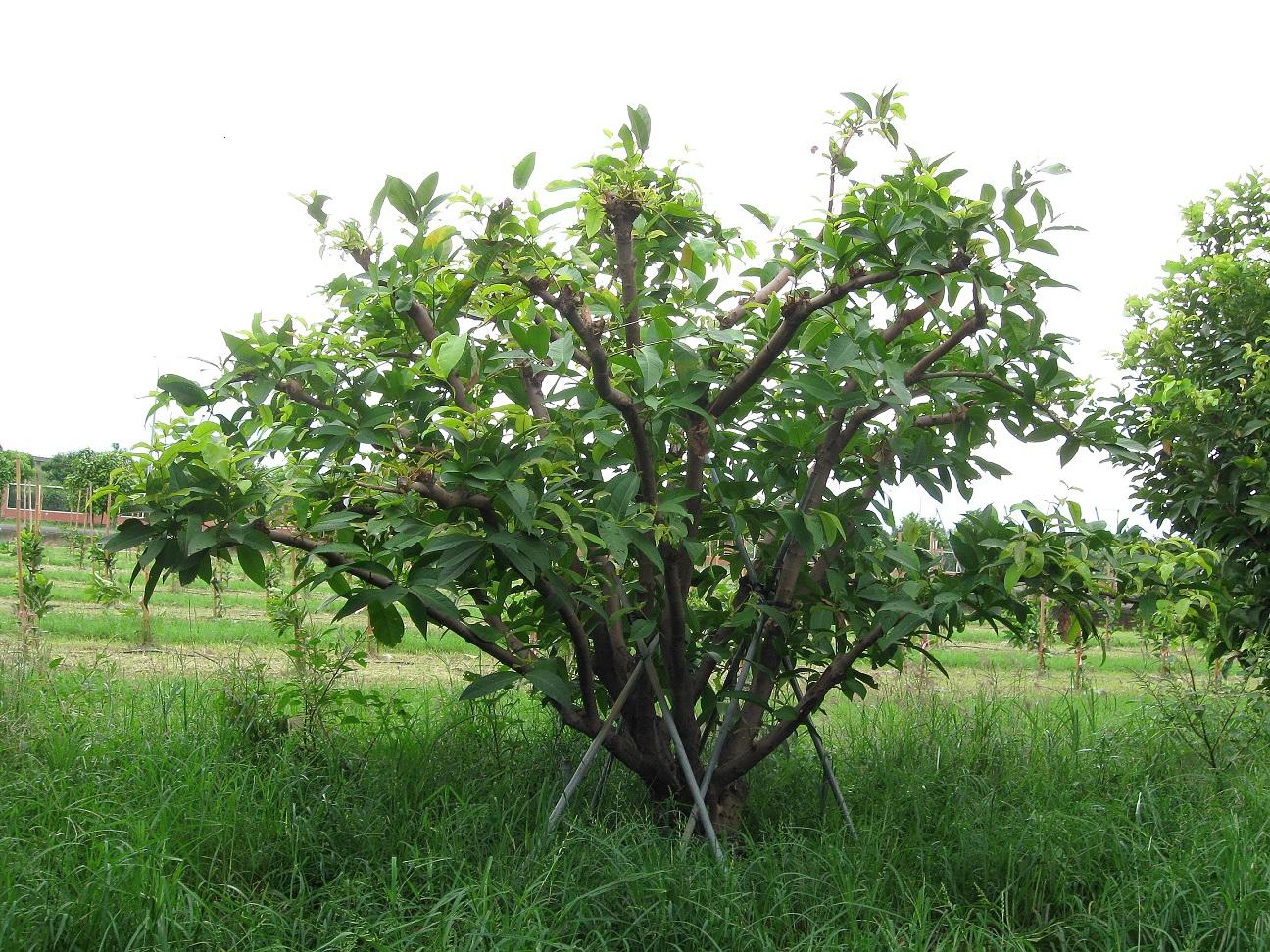 傾倒植株應儘速扶正、修去部份枝葉減少水份蒸散,並立支架固定植株