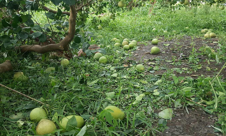 圖片提供/香茅草柚子果園