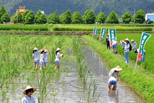 「魚茭共生」有機生產模式極富趣味性,參與食農教育的學生莫不開懷盡興,又對農作有更深刻的了解(圖片提供/花蓮農改場)