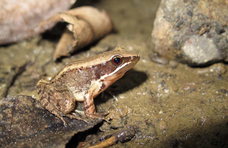 豎琴蛙在臺灣僅知分布南投魚池,且族群數量極少,此次評估列為國家極危(CR)類別。(拍攝者:林春富)