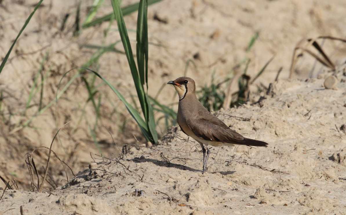 可愛的夏候鳥─燕鴴(音同「橫」