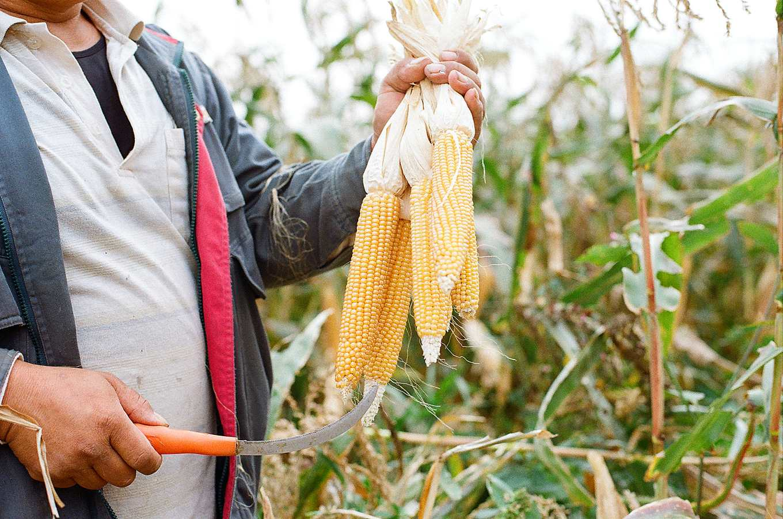 與農家合作的爆裂種玉米(圖片提供/爆穀文化)