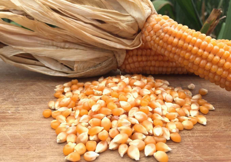 過去要爆玉米花,必須將玉米粒分剝成本高(圖片提供/爆穀文化)